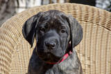 Mastiff puppy looking at you  California  USA