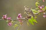 Pine Siskin adult perched in buckeye tree