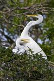 USA  Florida  St Augustine Gator Farm Great Egrets nesting
