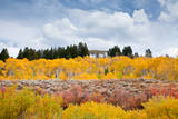 Fall aspens in the Rocky Mountains  Wyoming  USA