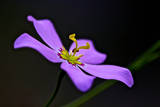 Five-petal sabatia flower  Big Cypress National Preserve  Florida  USA