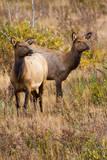 Elk cows grazing and looking for danger