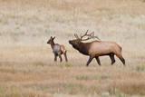 Elk bull herding harem and bugling