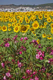 Spain  Andalusia  Cadiz Province  Bornos Sunflower fields