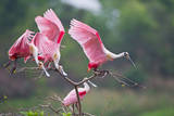 Roseate Spoonbills landing in near nests
