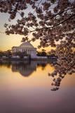 Cherry blossoms and the Jefferson Memorial  Washington DC  USA