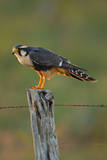Aplomado Falcon adult perched on fence  south Texas  USA