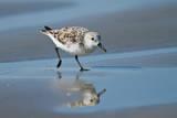 Sanderling feeding on wet beach