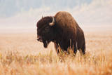 American Bison herd in Teton National Park  Wyoming  USA