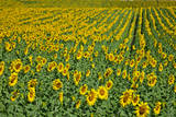 Spain  Andalusia  Cadiz Province Sunflower fields