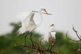 Great Egret breeding activity and plumage