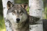 USA  Minnesota  Sandstone Close-up of gray wolf between birch trees