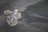 Central America  El Salvador  sand dollar on sand