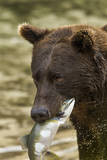 USA  Alaska  Katmai NP  Coastal Brown Bear eating salmon