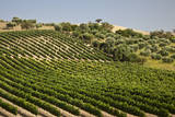 Spain  Andalusia  Cadiz Province Vineyard field and olive grove