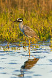Yellow-crowned Night-heron wading in salt marsh