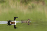 Northern shoveler ducks in a pond  Ninepipe WMA  Ronan  Montana  USA