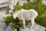 USA  Washington  Upper Enchantments Mountain goat ewe with kid