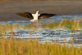 Black-necked Stilt adult landing in salt marsh