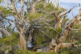 USA  California  Inyo NF Bristlecone pine tree