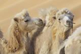 Camels in a desert convoy  Badain Jaran Desert  Gansu Province  China