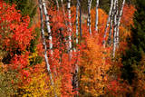 Red Maple and aspens in autumn  Wyoming  USA