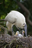 USA  Florida  St Augustine Alligator Farm wild Wood stork