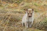 Greenland  Nuussuaq Peninsula  Qaasuitsup  Saqqaq Sled dog puppy