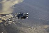 Central America  El Salvador  Pacific Ocean  turtle hatchlings