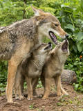 USA  Minnesota  Sandstone Coyote mother and pups begin howling