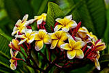 Plumeria Plant in Placencia  Belize