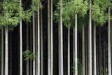 Japan  Nara Prefecture  Soni Plateau Cedar tree grove