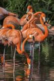 USA  Florida  Orlando Pink Flamingos at Gatorland