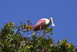 USA  Florida  St Augustine Alligator Farm wild Roseate spoonbill