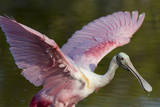 USA  Florida  Everglades NP Roseate spoonbill with wings spread