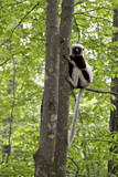 USA  North Carolina  Duke Lemur Center Coquerel's Sifaka Captive