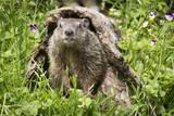 USA  Minnesota  Minnesota Wildlife Connection Groundhog in a log