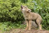 USA  Minnesota  Minnesota Wildlife Connection Howling coyote pup