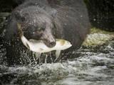 USA  Alaska  Anan Creek Close-up of black bear catching salmon