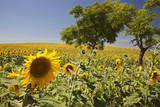 Spain  Andalusia  Cadiz Province Trees in field of sunflowers