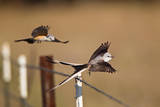 Scissor-tailed Flycatchers pair flying by barbed-wire fence