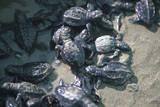 Central America  El Salvador  turtle hatchlings
