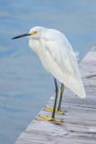 USA  Florida  New Smyrna Beach  Snowy Egret on dock