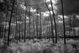 USA  Florida  slash pine and palmetto palm landscape Infrared
