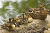 USA  Washington  Seattle Mallard duck with ducklings on a log