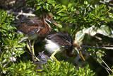 USA  Florida  St Augustine Alligator Farm wild Tricolor Heron