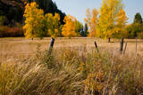 Golden trees in pasture by Snake River  Idaho  USA