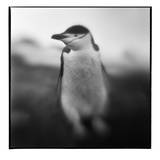 Antarctica  Deception Island  Chinstrap Penguin