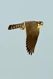 Aplomado Falcon adult in flight  south Texas  USA