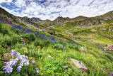 USA  Colorado Wildflowers in American Basin in the San Juan Mountains